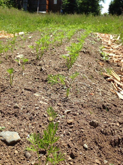 Carrot weeding provided a great learning experience about the work involved to produce food