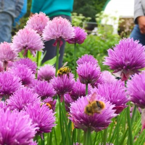 Bumblees visiting edible chive flowers in the garden