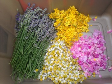 Medicines harvested from the Garden for relaxation and mental health benefits, clockwise from left: lavender, St. John's Wort, rose petals, and chamomile